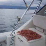 Prawns from traps Watermark Salmon Fishing Charters - Jan 2017